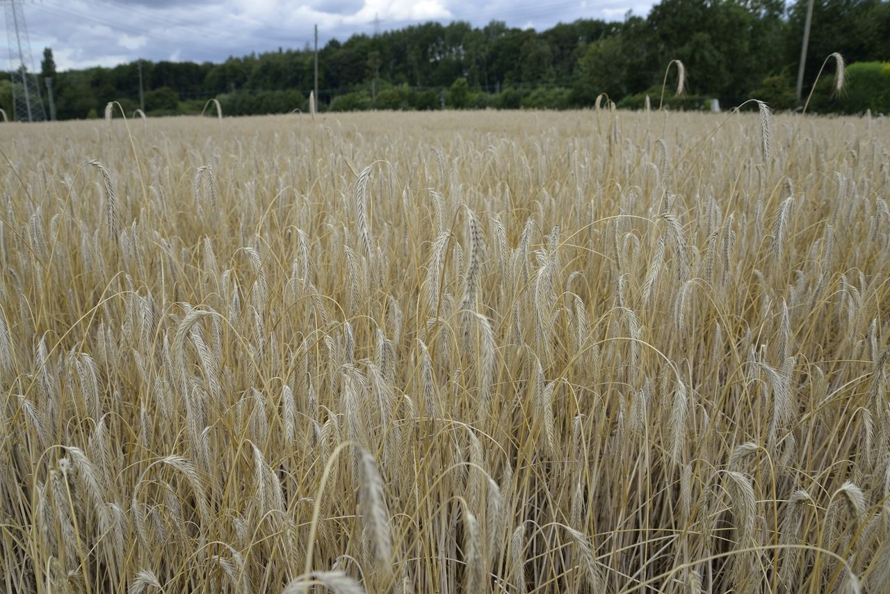 field, plant, landscape, agriculture, land, growth, rural scene, crop, farm, tranquility, environment, tranquil scene, cereal plant, day, beauty in nature, no people, nature, scenics - nature, wheat, focus on foreground, outdoors, stalk, plantation