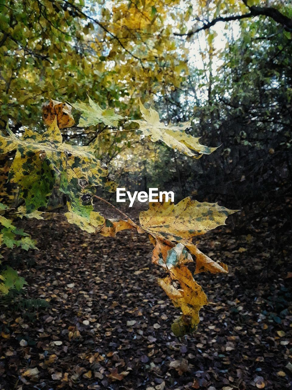 plant part, leaf, tree, nature, plant, autumn, day, beauty in nature, growth, no people, branch, outdoors, close-up, change, land, yellow, forest, low angle view, leaves, dry, maple leaf