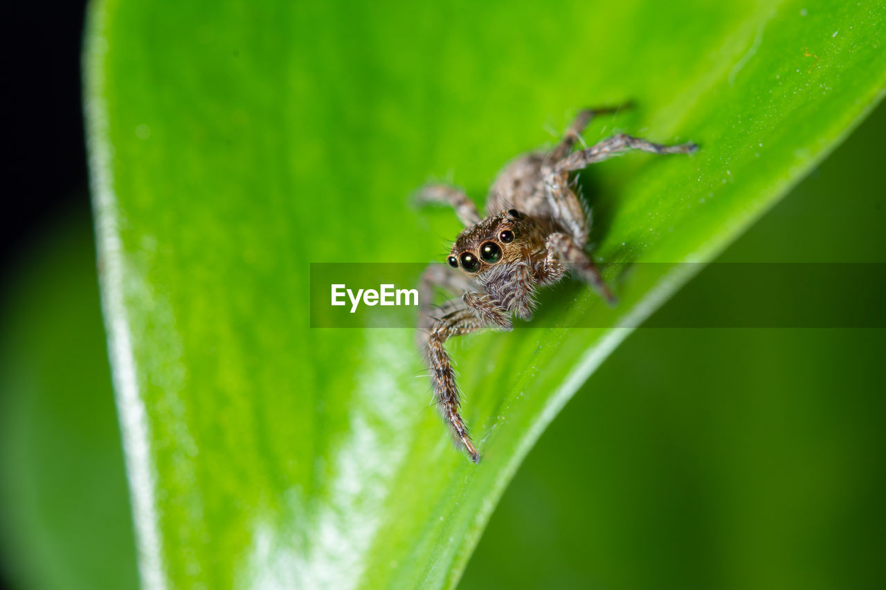 animal wildlife, animals in the wild, animal themes, animal, one animal, insect, invertebrate, green color, plant part, leaf, close-up, arachnid, arthropod, selective focus, zoology, no people, nature, plant, spider, day, outdoors, animal eye