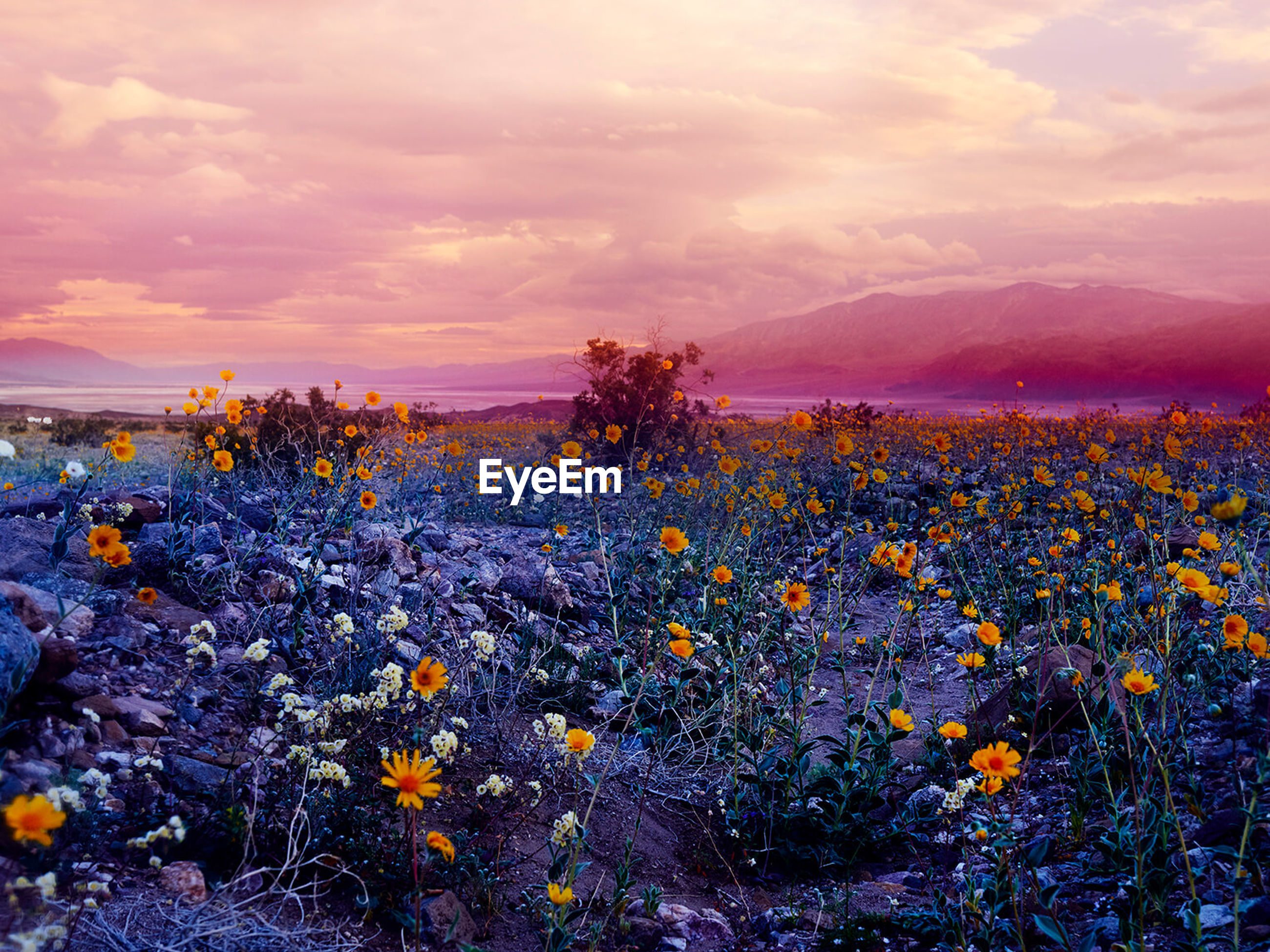 sky, beauty in nature, flowering plant, flower, cloud - sky, plant, growth, nature, tranquility, scenics - nature, vulnerability, freshness, land, fragility, tranquil scene, sunset, field, no people, environment, landscape, outdoors, flower head, purple, flowerbed