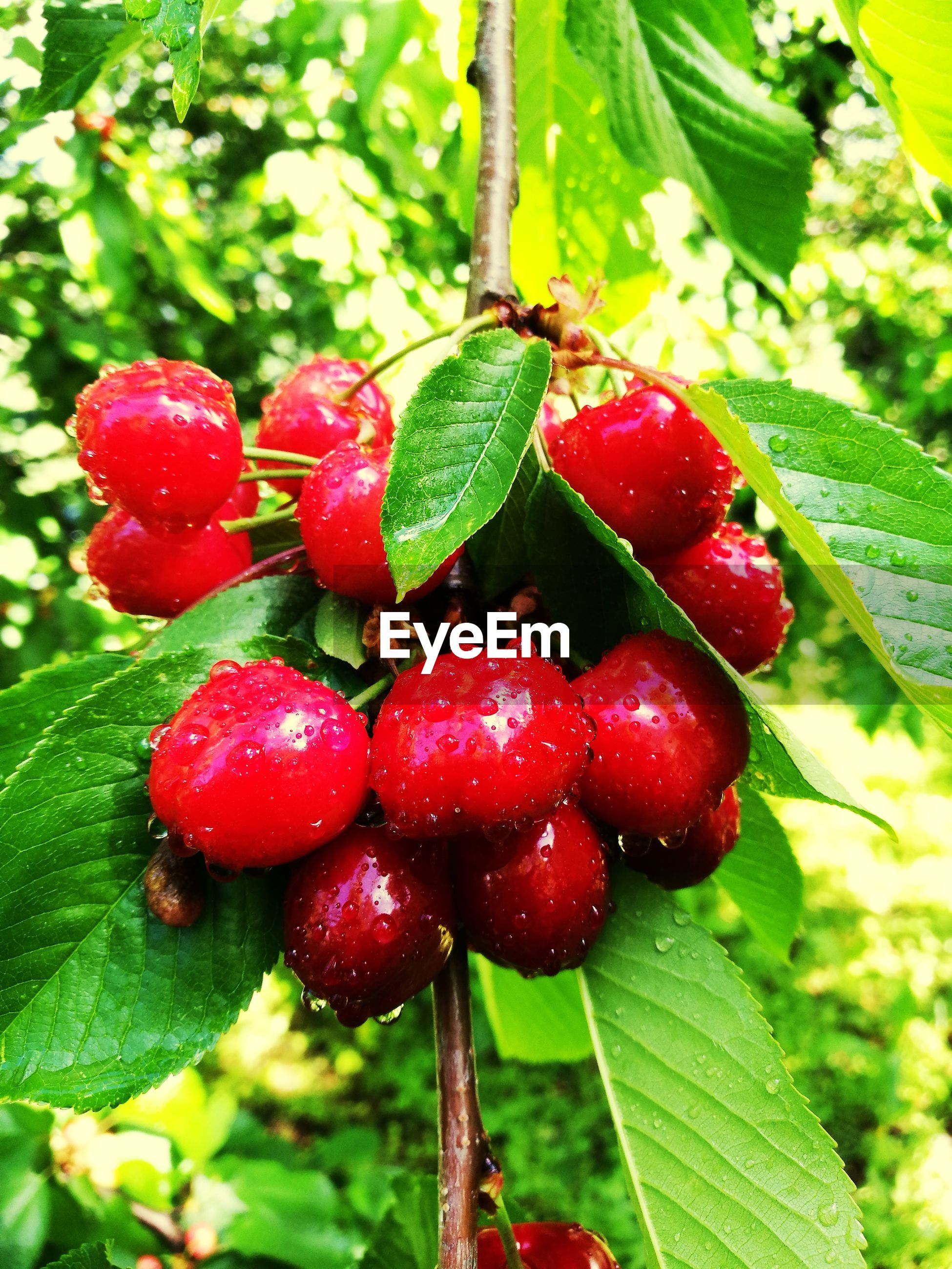 leaf, growth, green color, red, fruit, plant, nature, food and drink, freshness, close-up, day, no people, focus on foreground, beauty in nature, outdoors, food, tree