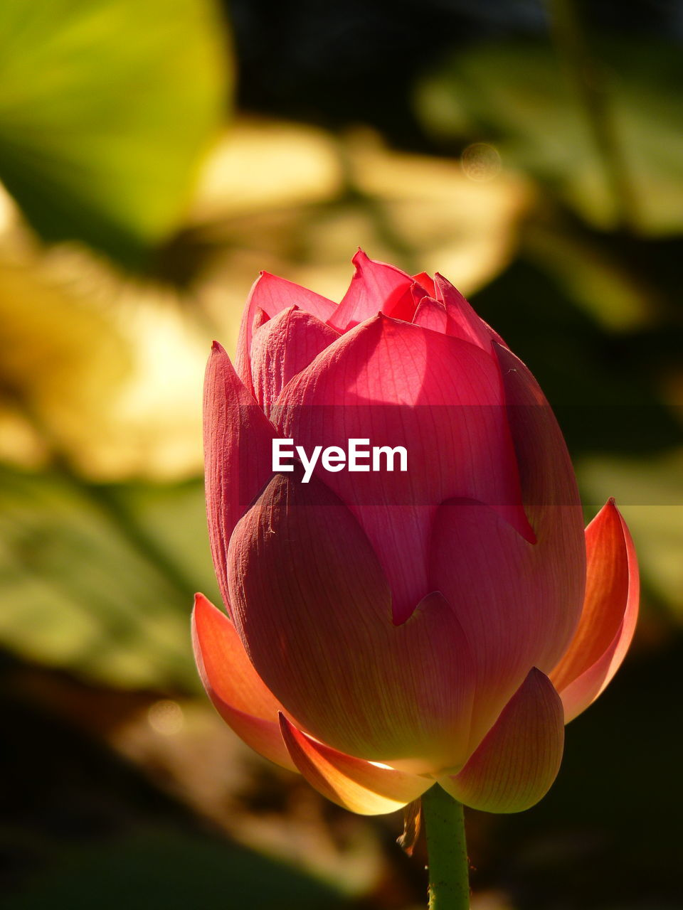flowering plant, flower, vulnerability, fragility, beauty in nature, petal, plant, freshness, inflorescence, close-up, flower head, growth, nature, focus on foreground, pink color, no people, tulip, day, sunlight, lotus water lily, softness, sepal