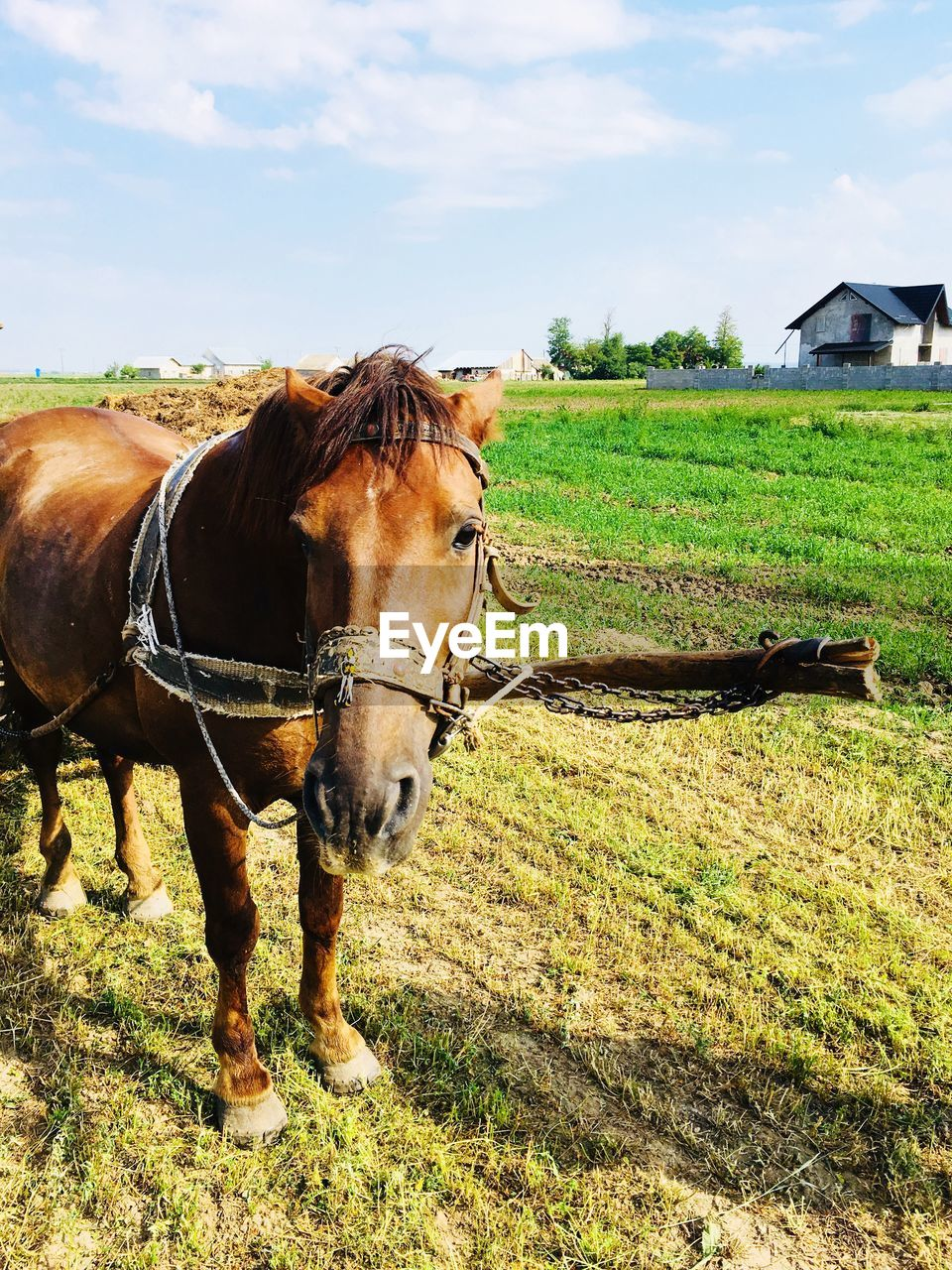 field, domestic animals, domestic, mammal, land, animal, grass, pets, livestock, animal themes, vertebrate, plant, nature, one animal, horse, sky, animal wildlife, day, green color, landscape, no people, outdoors, herbivorous, ranch