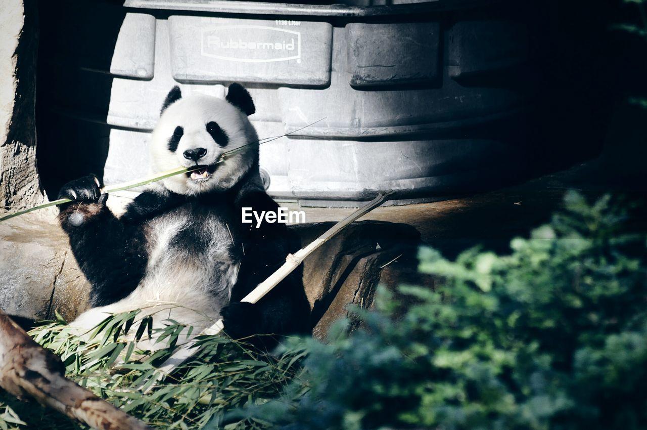 panda, panda - animal, bear, mammal, animal themes, no people, giant panda, animals in the wild, day, outdoors, bamboo - plant, nature, close-up