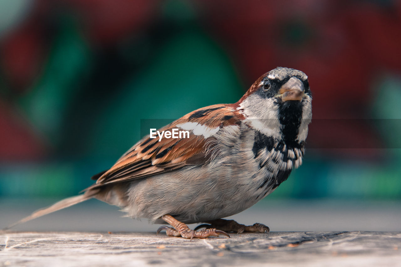 Close-Up Of Sparrow Perching On Table