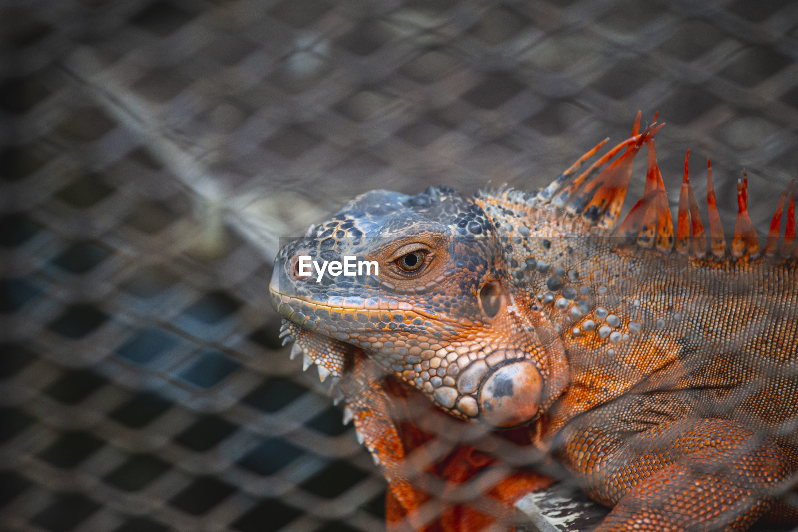 Close-up of lizard in cage
