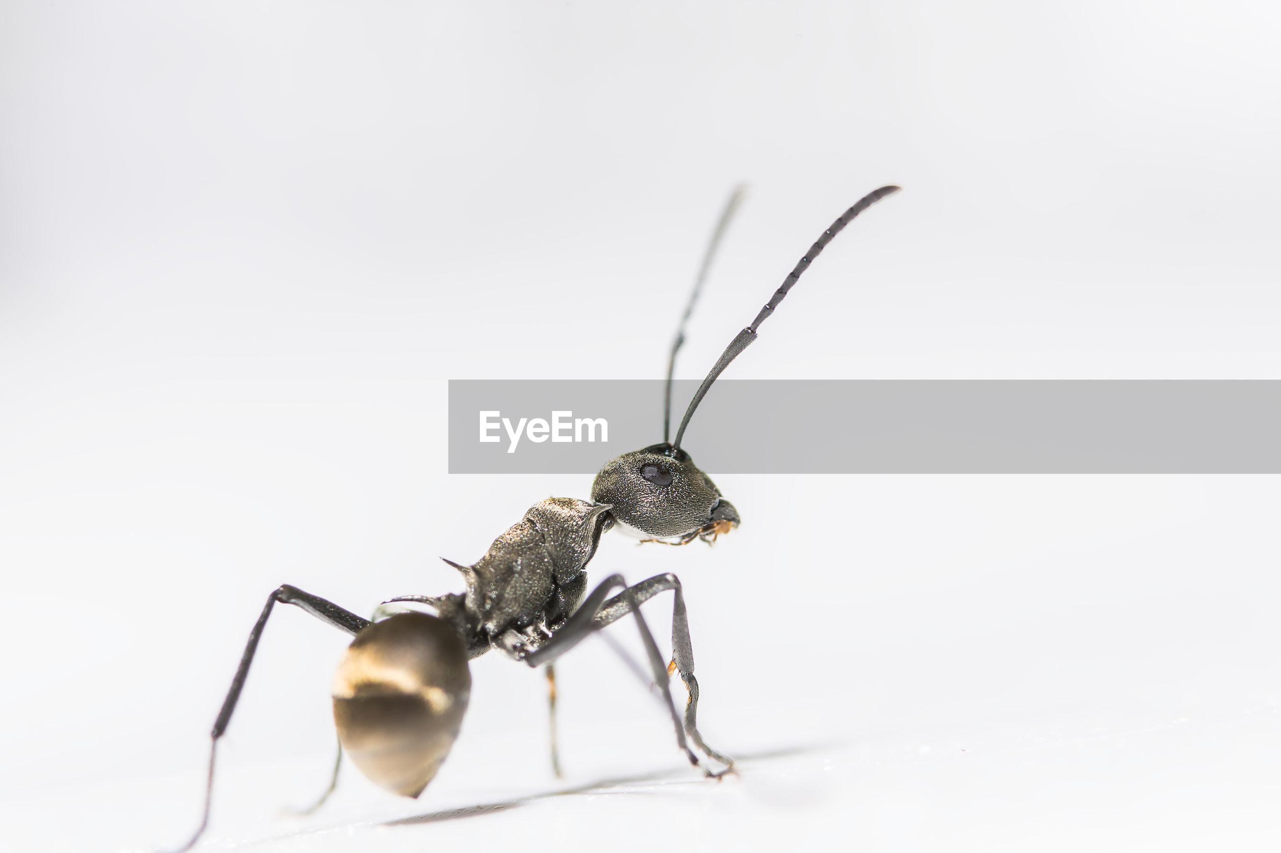 Macro shot of ant on white background