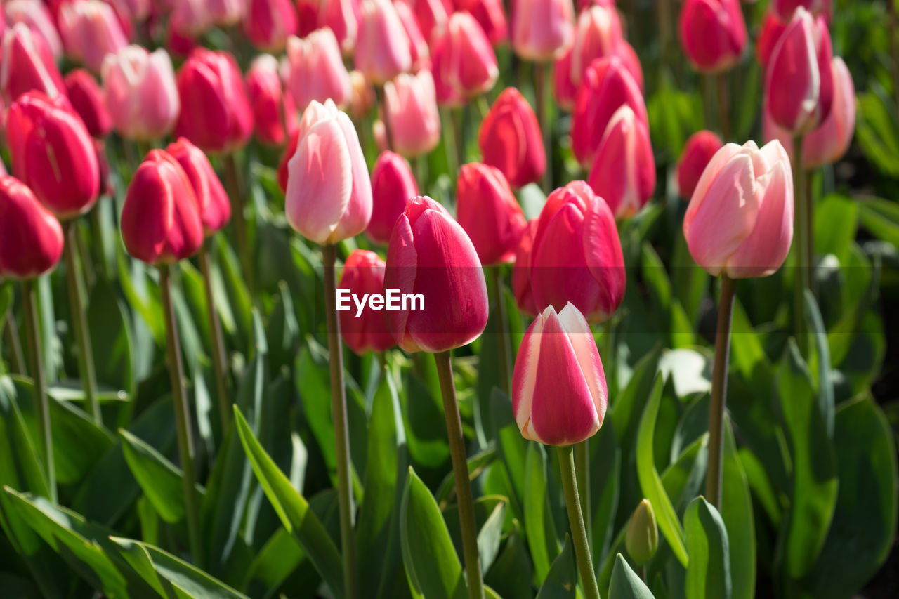 flowering plant, flower, plant, beauty in nature, freshness, fragility, vulnerability, petal, growth, close-up, tulip, inflorescence, pink color, flower head, nature, day, no people, green color, land, field, outdoors, springtime, purple, flowerbed