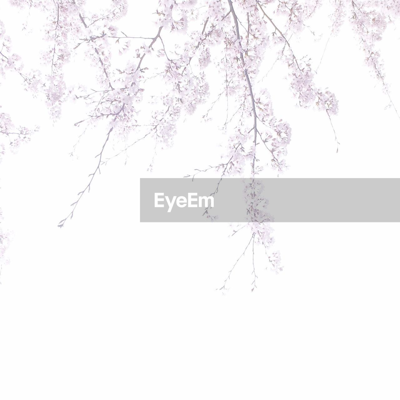 tree, beauty in nature, nature, branch, flower, growth, no people, winter, fragility, outdoors, tranquility, springtime, cold temperature, clear sky, day, scenics, snow, freshness, sky, white background