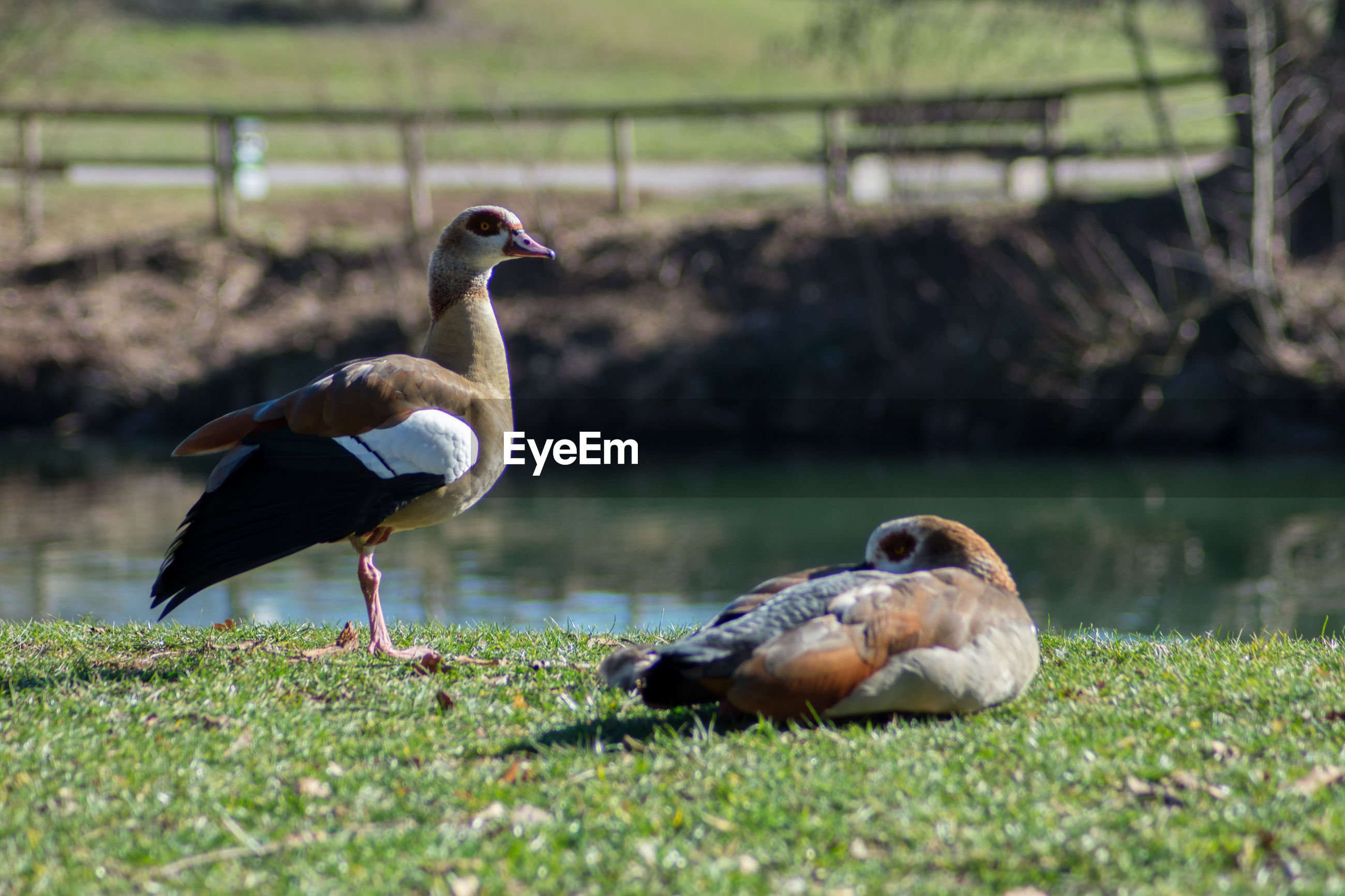 bird, vertebrate, animals in the wild, animal themes, animal, animal wildlife, group of animals, two animals, nature, grass, day, land, selective focus, field, water, lake, no people, water bird, outdoors, focus on foreground, duck, animal family