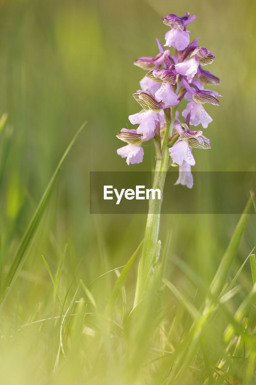 plant, flower, flowering plant, growth, beauty in nature, freshness, fragility, vulnerability, grass, nature, field, land, selective focus, close-up, day, green color, petal, no people, outdoors, botany, flower head, springtime, purple