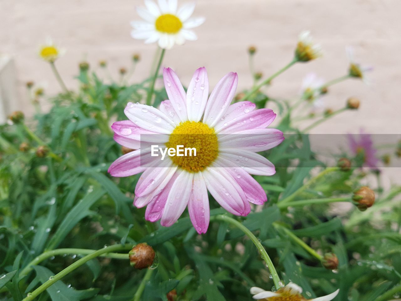 flower, flowering plant, freshness, plant, fragility, vulnerability, petal, growth, beauty in nature, flower head, inflorescence, close-up, nature, focus on foreground, pollen, pink color, no people, daisy, day, yellow, outdoors, gazania