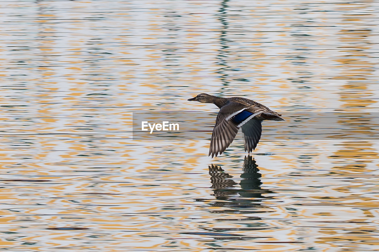 vertebrate, bird, animals in the wild, animal wildlife, animal themes, animal, water, one animal, waterfront, lake, no people, flying, rippled, day, nature, water bird, spread wings, outdoors, duck, flapping