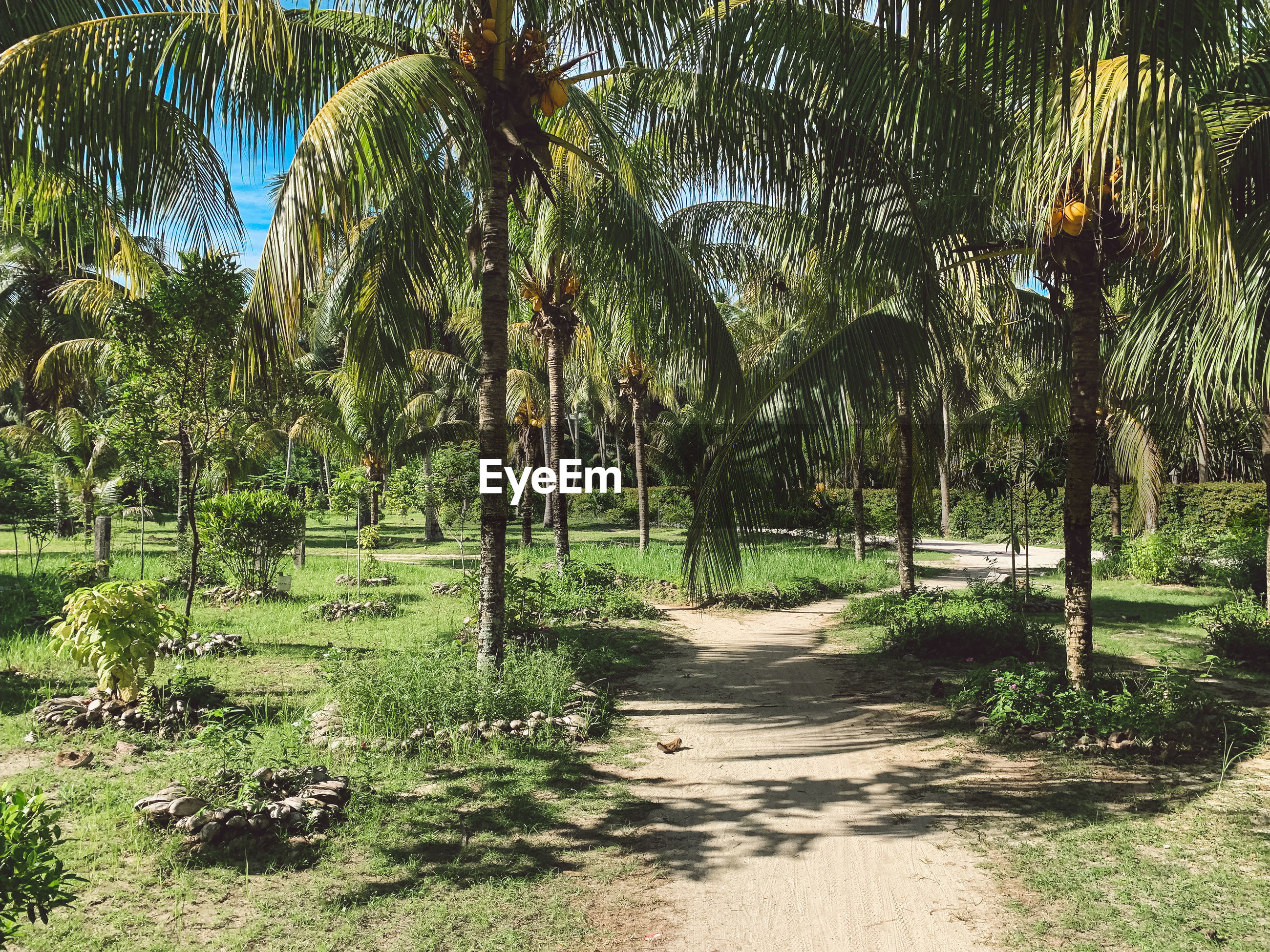 Footpath amidst palm trees in park