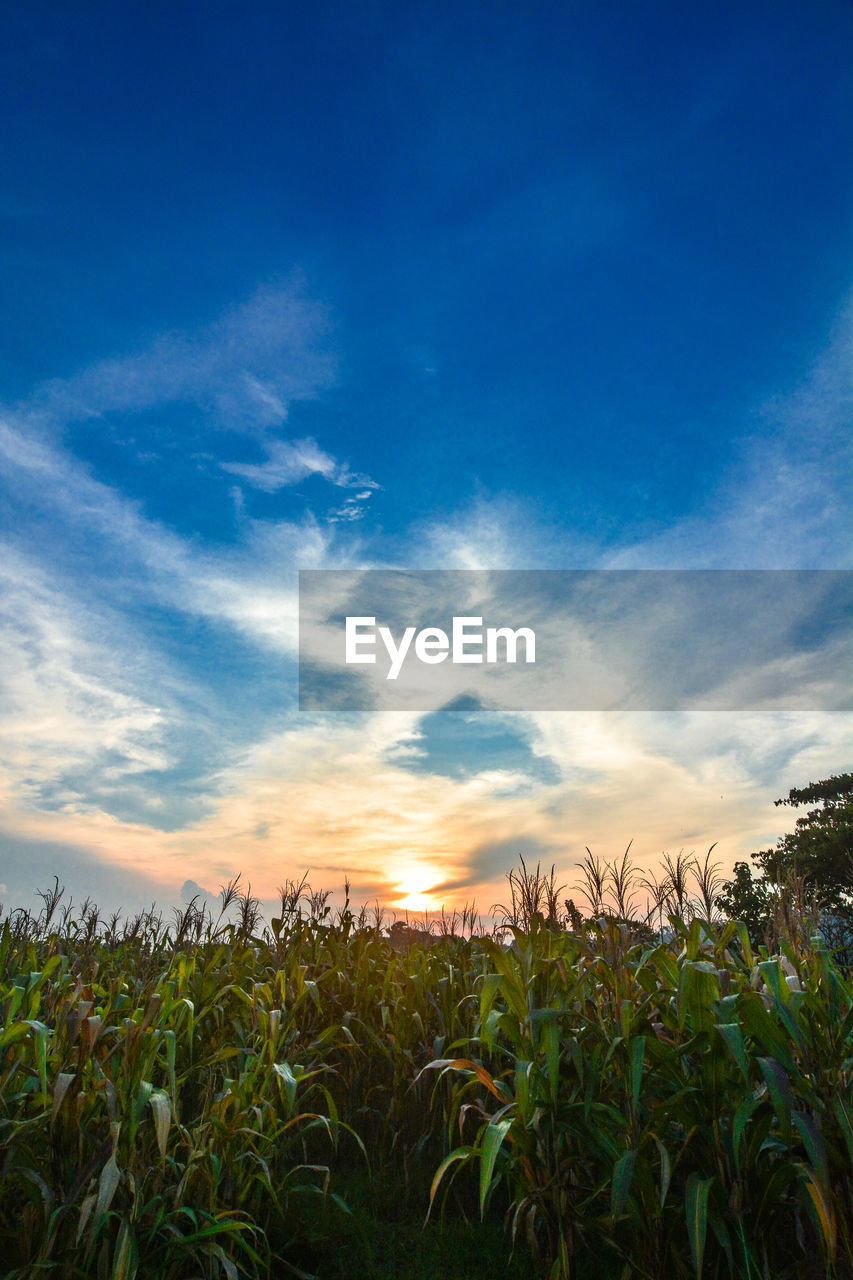 sky, growth, plant, field, cloud - sky, land, beauty in nature, scenics - nature, agriculture, tranquility, crop, tranquil scene, landscape, nature, blue, rural scene, sunset, environment, corn, farm, no people, outdoors, plantation
