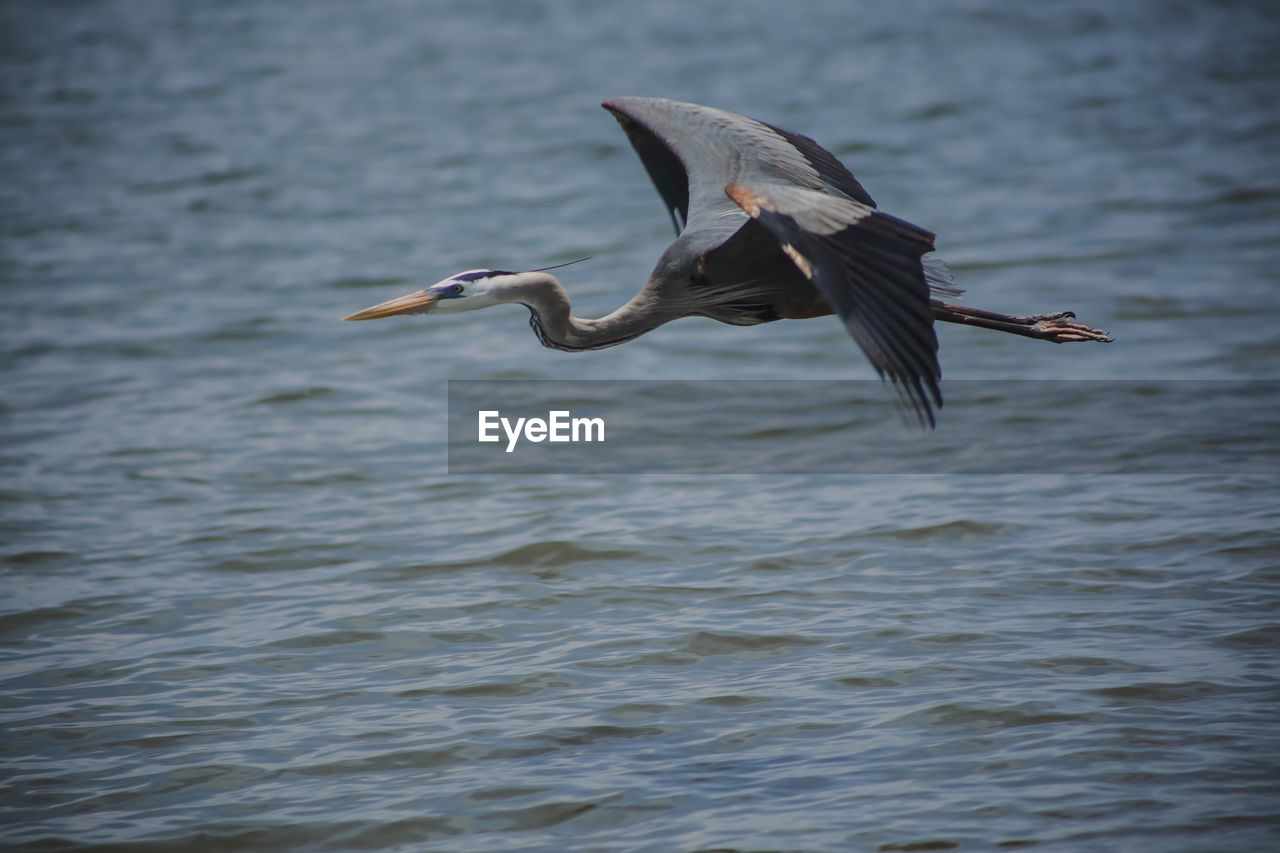 animals in the wild, bird, animal wildlife, vertebrate, animal themes, animal, one animal, flying, water, spread wings, waterfront, no people, mid-air, heron, nature, sea, water bird, day, motion, outdoors