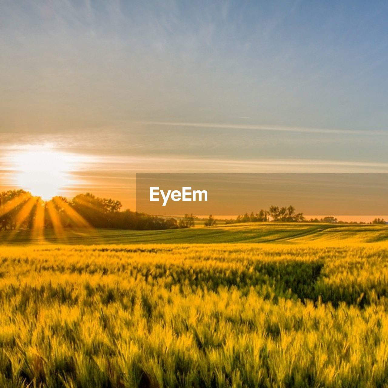 landscape, field, nature, beauty in nature, scenics, agriculture, tranquil scene, tranquility, rural scene, sunset, sunlight, no people, sun, outdoors, growth, sky, yellow, day