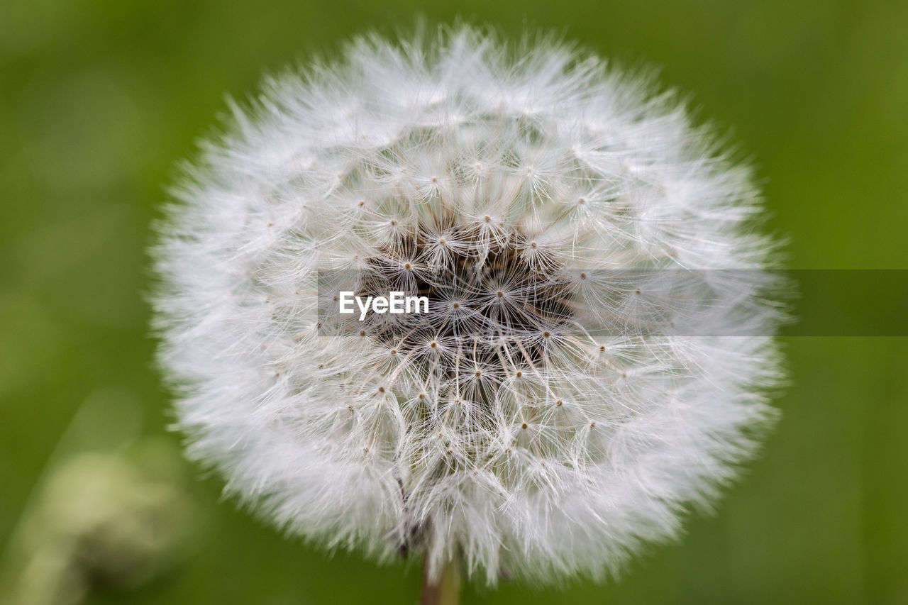 fragility, vulnerability, flower, plant, close-up, flowering plant, dandelion, freshness, growth, beauty in nature, inflorescence, focus on foreground, white color, flower head, nature, no people, softness, day, dandelion seed, outdoors
