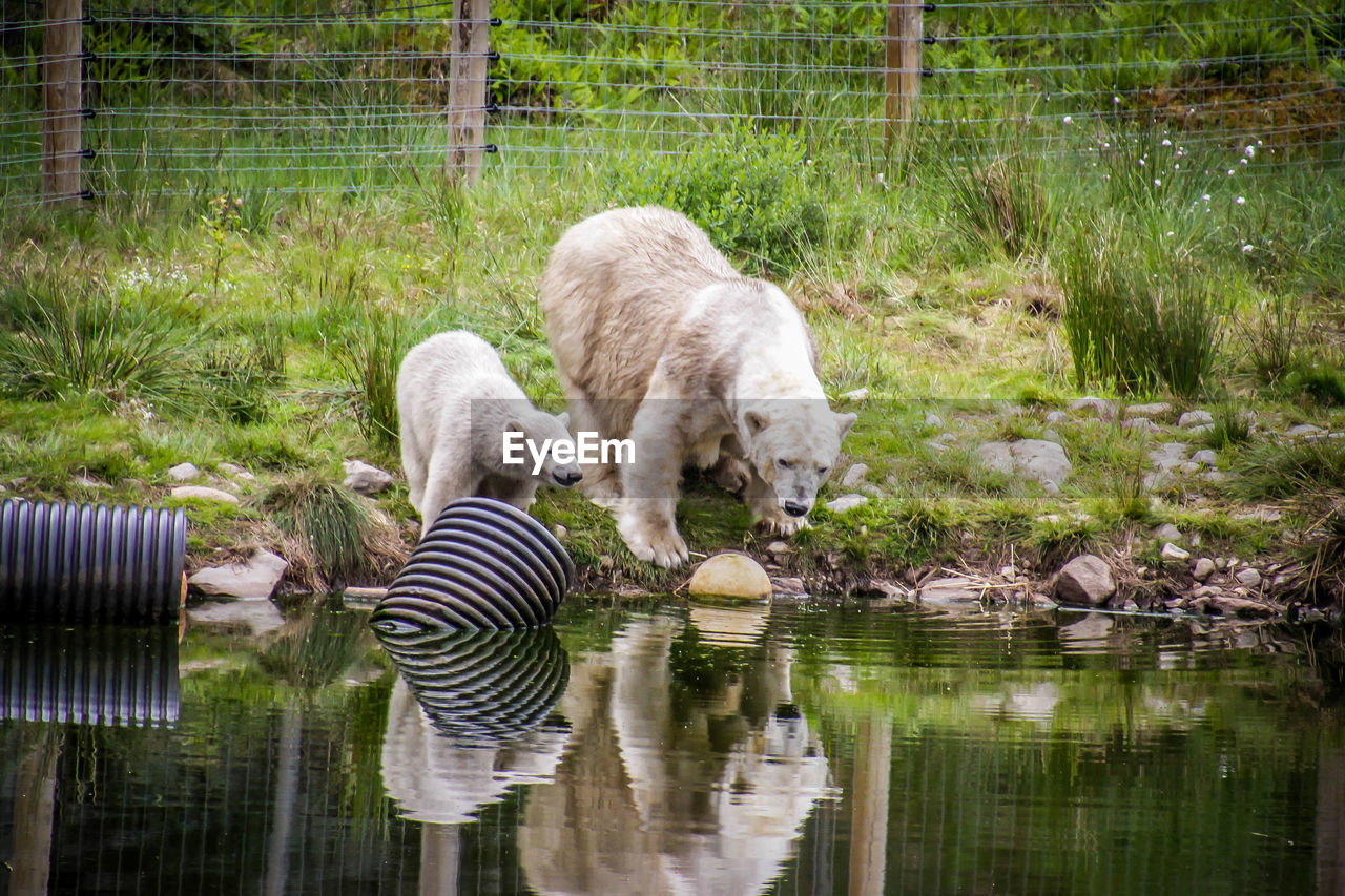 animal themes, animal, mammal, reflection, water, domestic animals, group of animals, grass, nature, lake, no people, domestic, plant, striped, pets, drinking, day, vertebrate, small