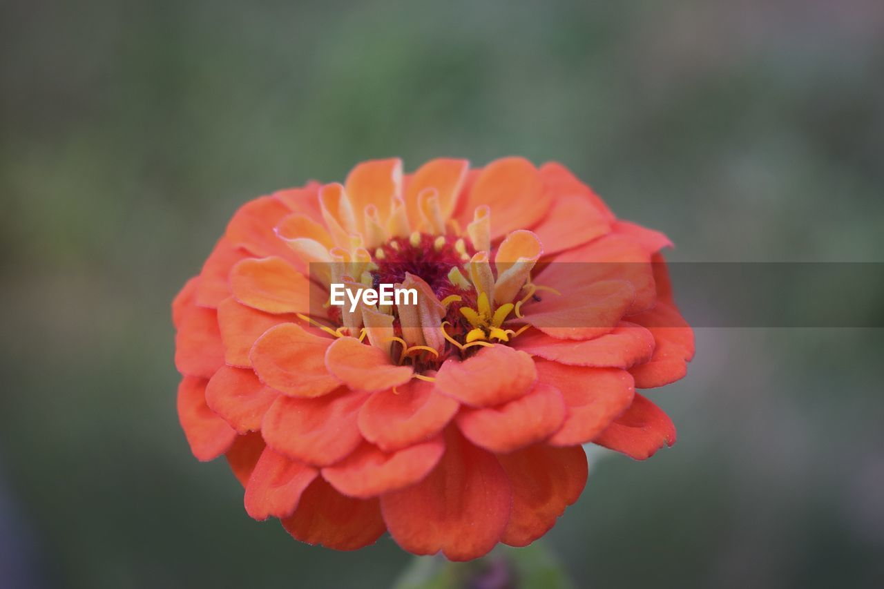 flower, petal, beauty in nature, fragility, nature, flower head, growth, freshness, focus on foreground, zinnia, blooming, day, outdoors, plant, pollen, close-up, no people, red