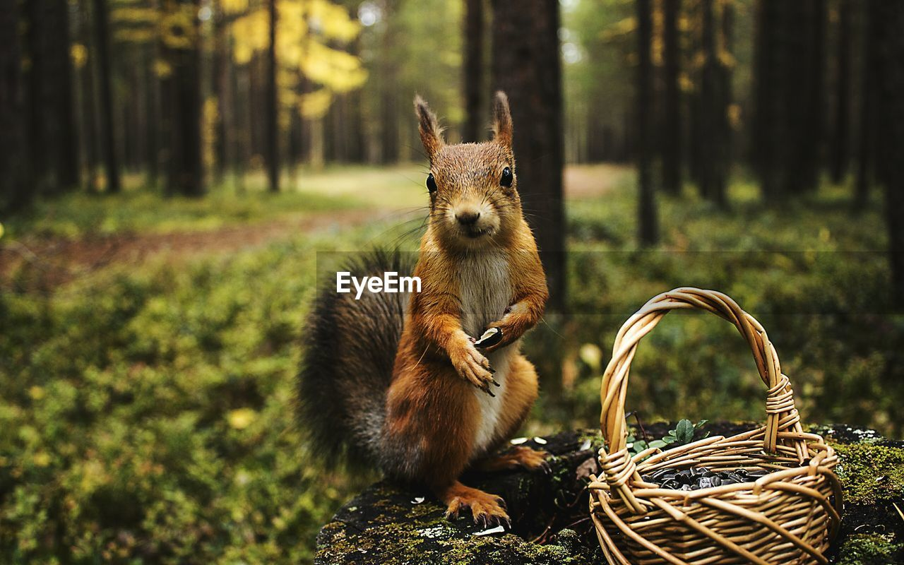 Close-Up Of Squirrel By Wicker Basket In Forest