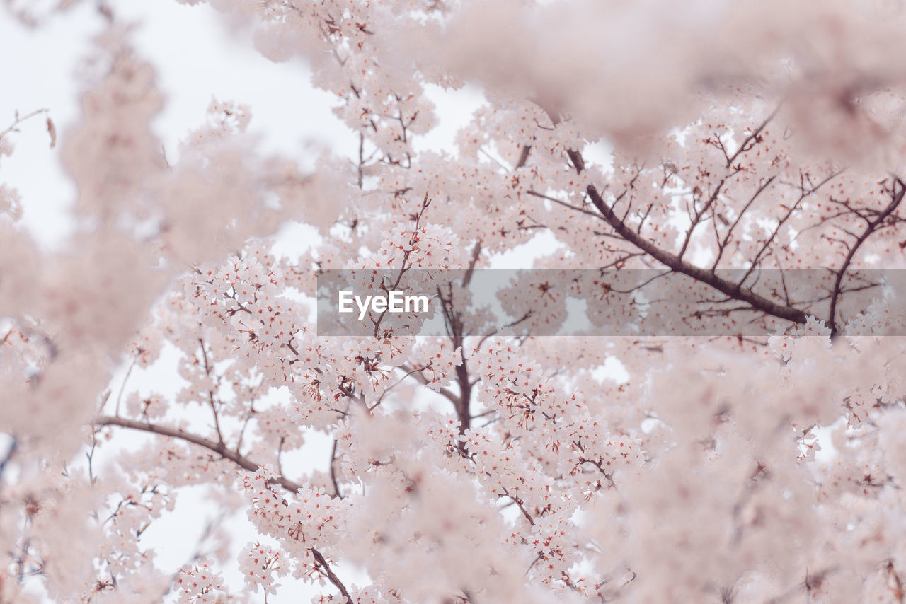 flower, plant, blossom, cherry blossom, flowering plant, tree, beauty in nature, branch, springtime, fragility, no people, close-up, freshness, day, nature, pink color, cherry tree, growth, vulnerability, low angle view, outdoors