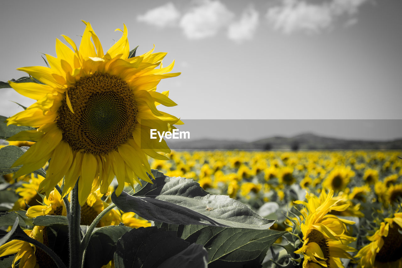 flower, flowering plant, yellow, freshness, growth, plant, beauty in nature, fragility, vulnerability, flower head, sunflower, petal, field, inflorescence, sky, land, nature, close-up, focus on foreground, rural scene, pollen, no people, outdoors