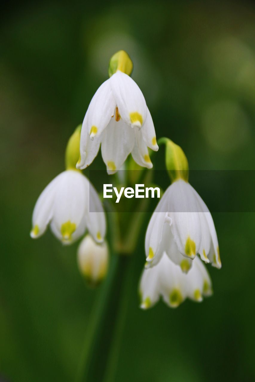 flower, white color, growth, fragility, petal, nature, beauty in nature, freshness, no people, close-up, plant, snowdrop, flower head, blooming, day, outdoors, springtime