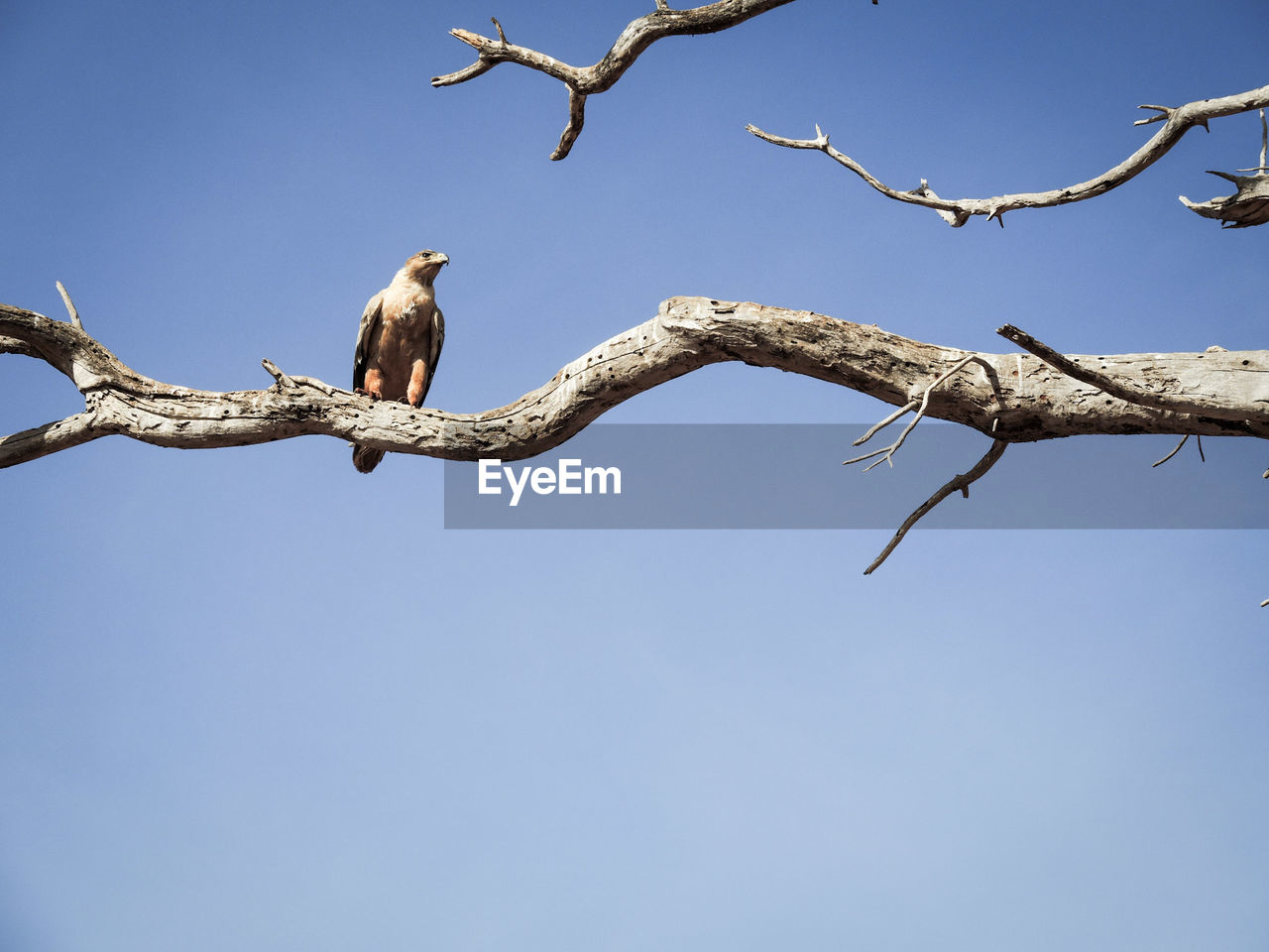 bird, animals in the wild, animal themes, perching, animal wildlife, clear sky, low angle view, day, one animal, copy space, outdoors, branch, no people, nature, blue, bird of prey, tree, mourning dove, bare tree, sky, beauty in nature