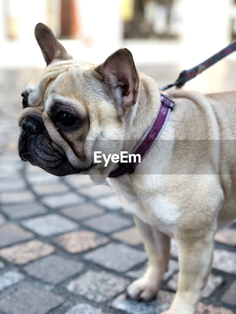 one animal, canine, dog, pets, domestic, mammal, animal, domestic animals, animal themes, vertebrate, focus on foreground, leash, french bulldog, close-up, pet leash, no people, lap dog, pug, looking away, day, small, animal head