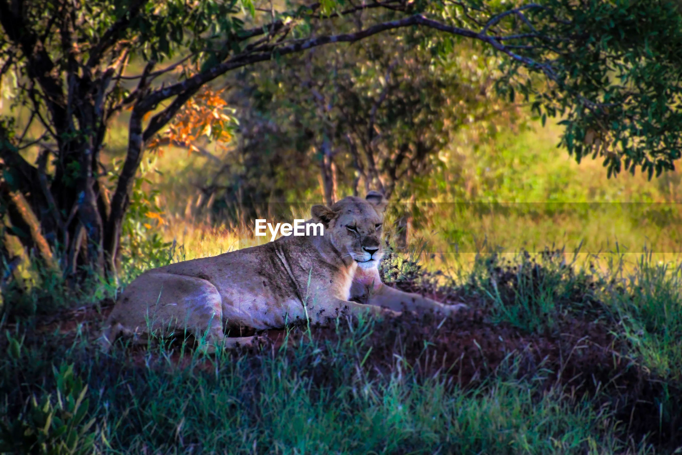 Lioness sitting on field in forest