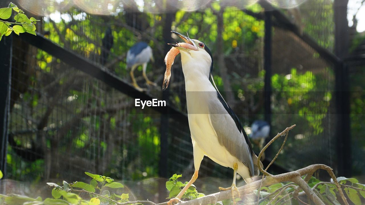 animal wildlife, animal themes, animals in the wild, bird, animal, vertebrate, one animal, plant, focus on foreground, perching, tree, no people, day, nature, outdoors, white color, egret, close-up, animals in captivity, leaf