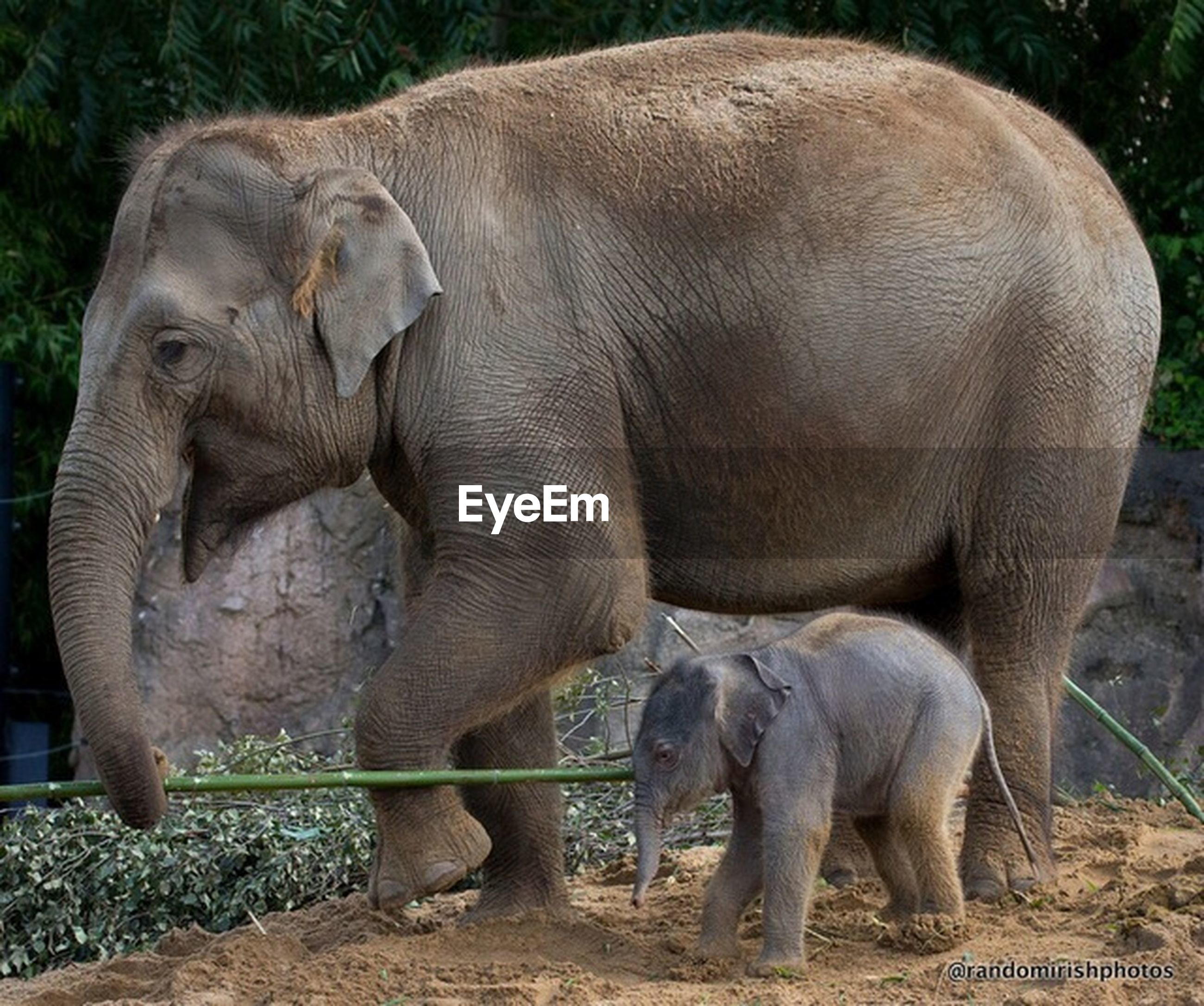 animal themes, mammal, wildlife, animals in the wild, standing, livestock, field, two animals, animal family, togetherness, young animal, herbivorous, elephant, nature, zoo, full length, three animals, sheep, grass