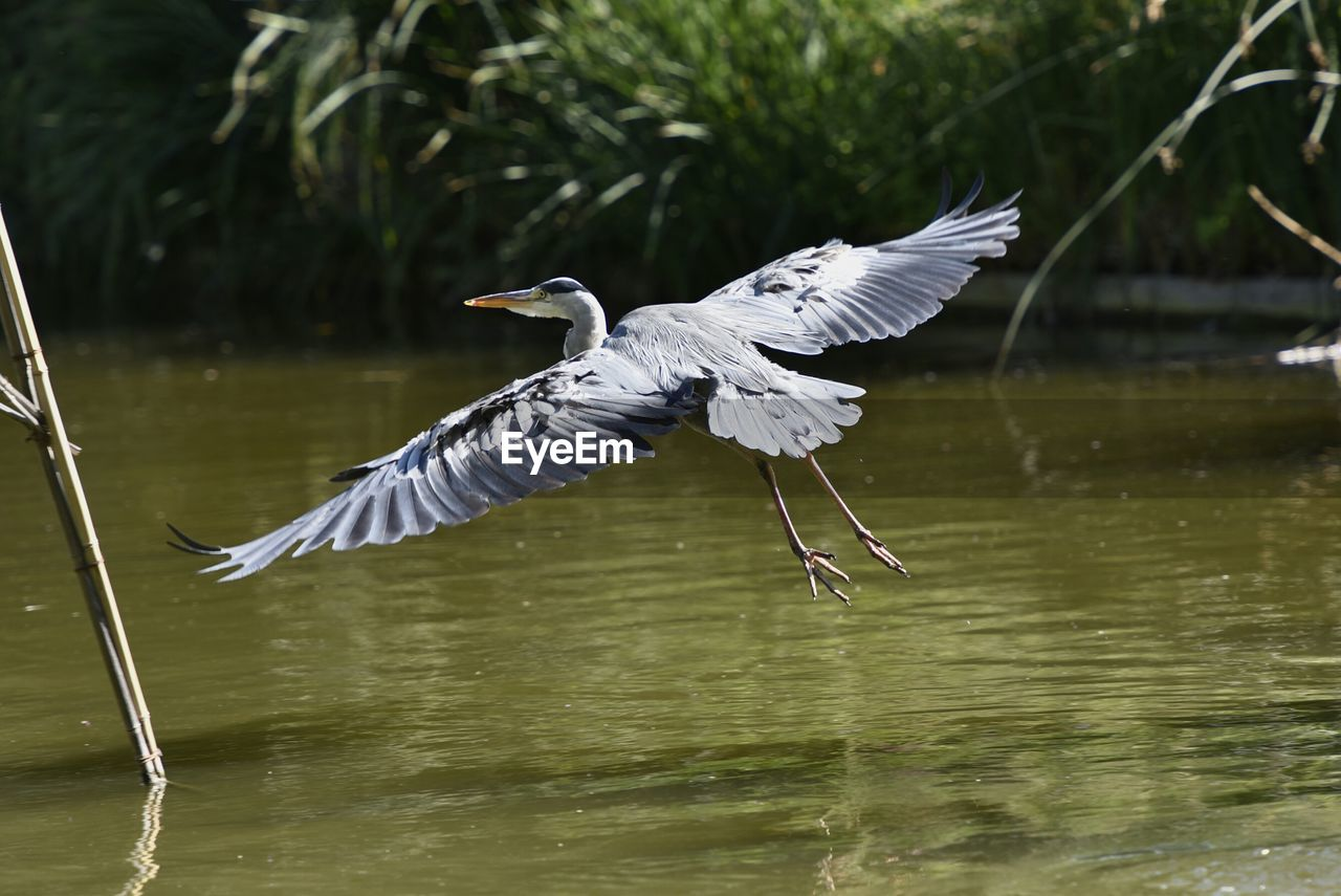 Grey Heron Flying Over Lake