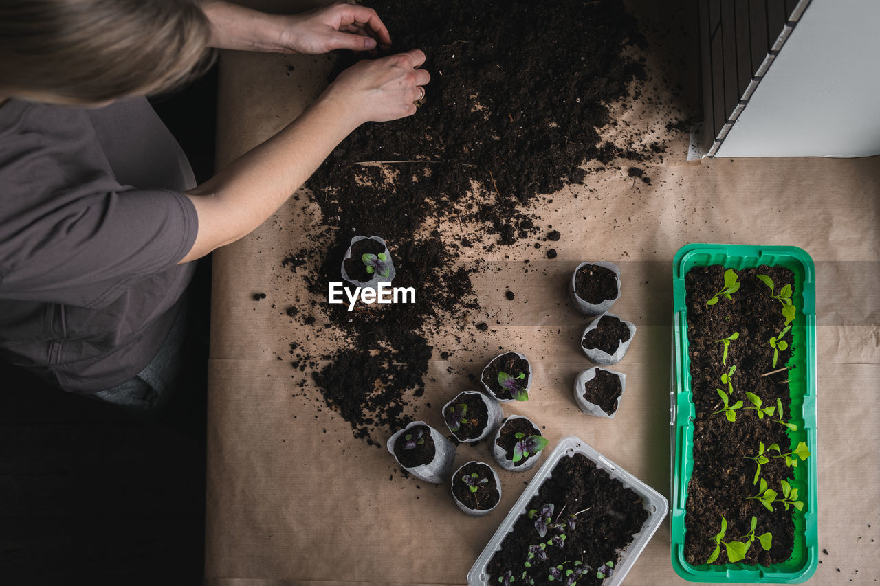Home plant growing concept. human hands transplant seedlings into separate containers with soil.