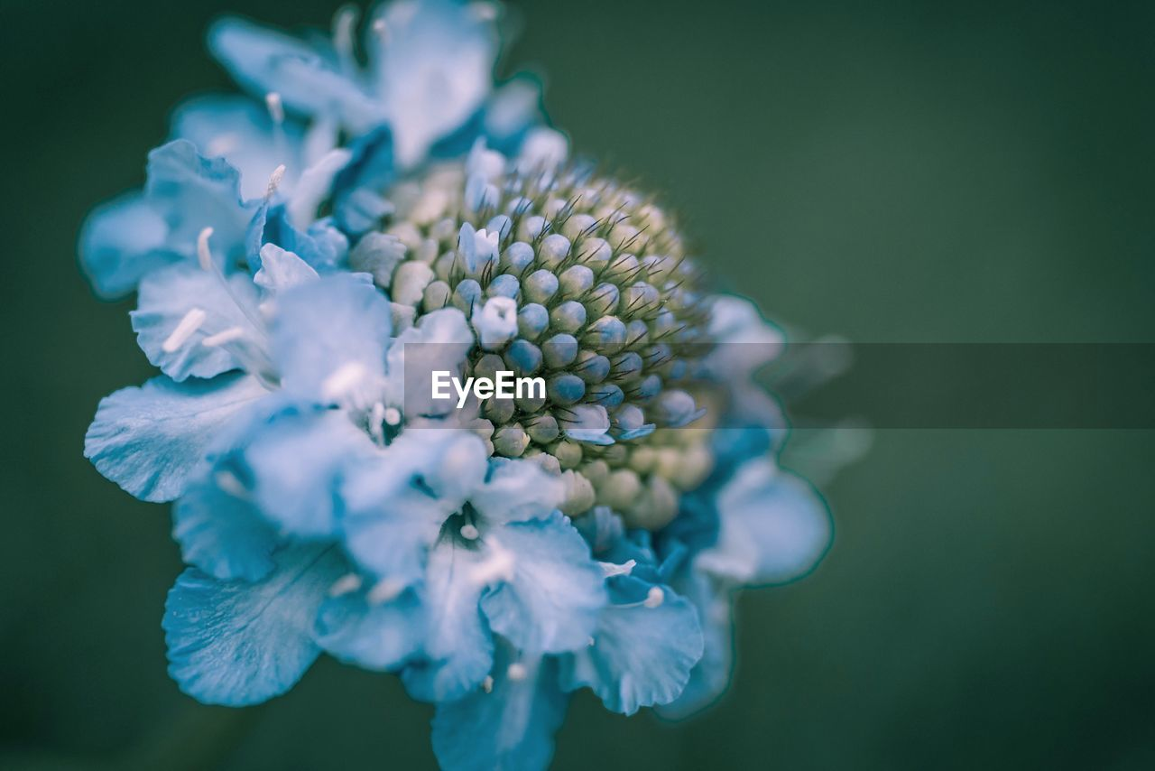flowering plant, flower, plant, beauty in nature, freshness, fragility, growth, vulnerability, flower head, close-up, inflorescence, petal, nature, no people, focus on foreground, day, selective focus, outdoors, blue, pollen, purple
