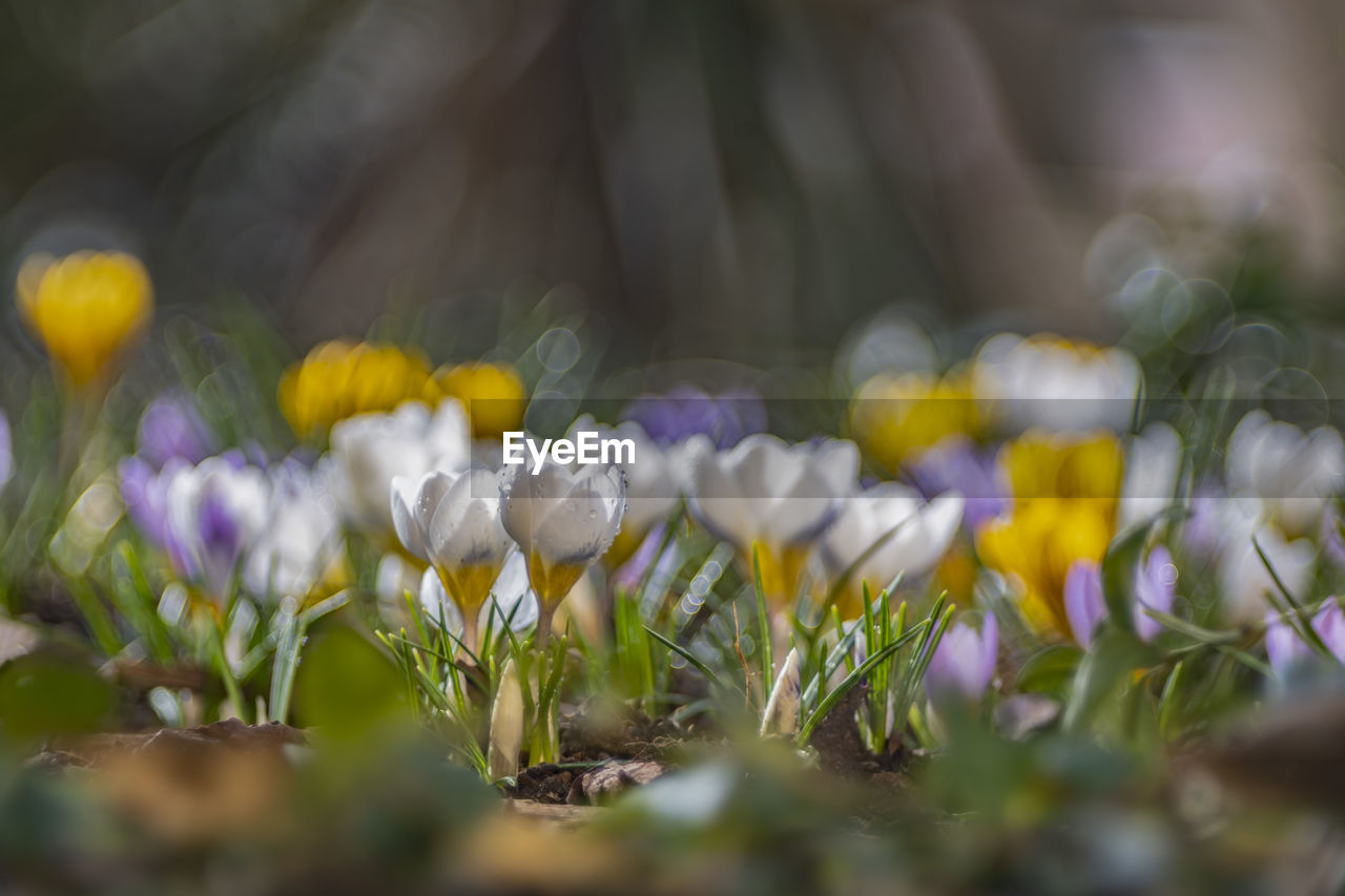 flower, flowering plant, plant, beauty in nature, vulnerability, fragility, selective focus, growth, freshness, close-up, petal, nature, no people, flower head, day, inflorescence, land, field, purple, white color, crocus, iris, springtime