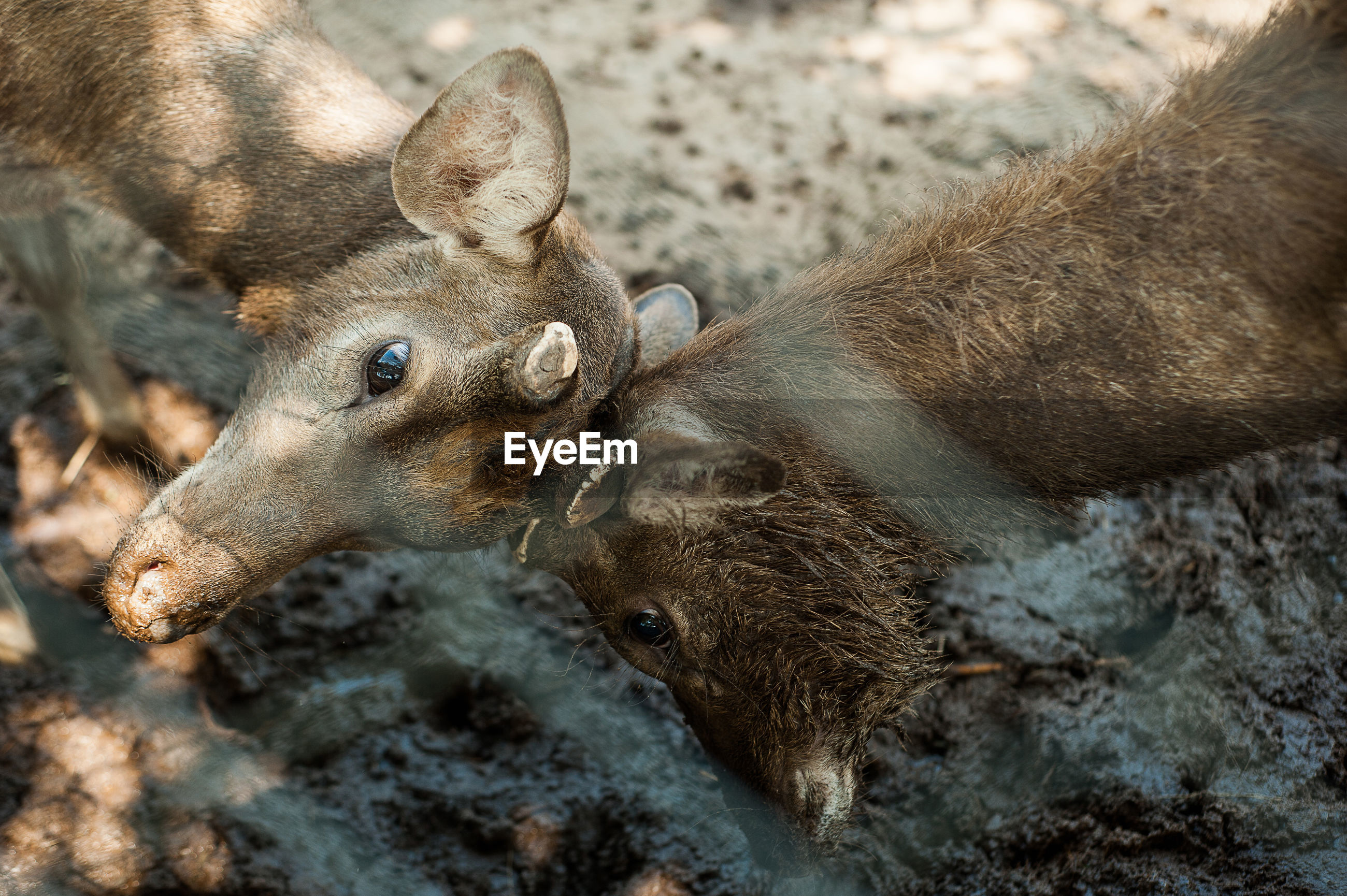 High angle view of deer fighting in zoo