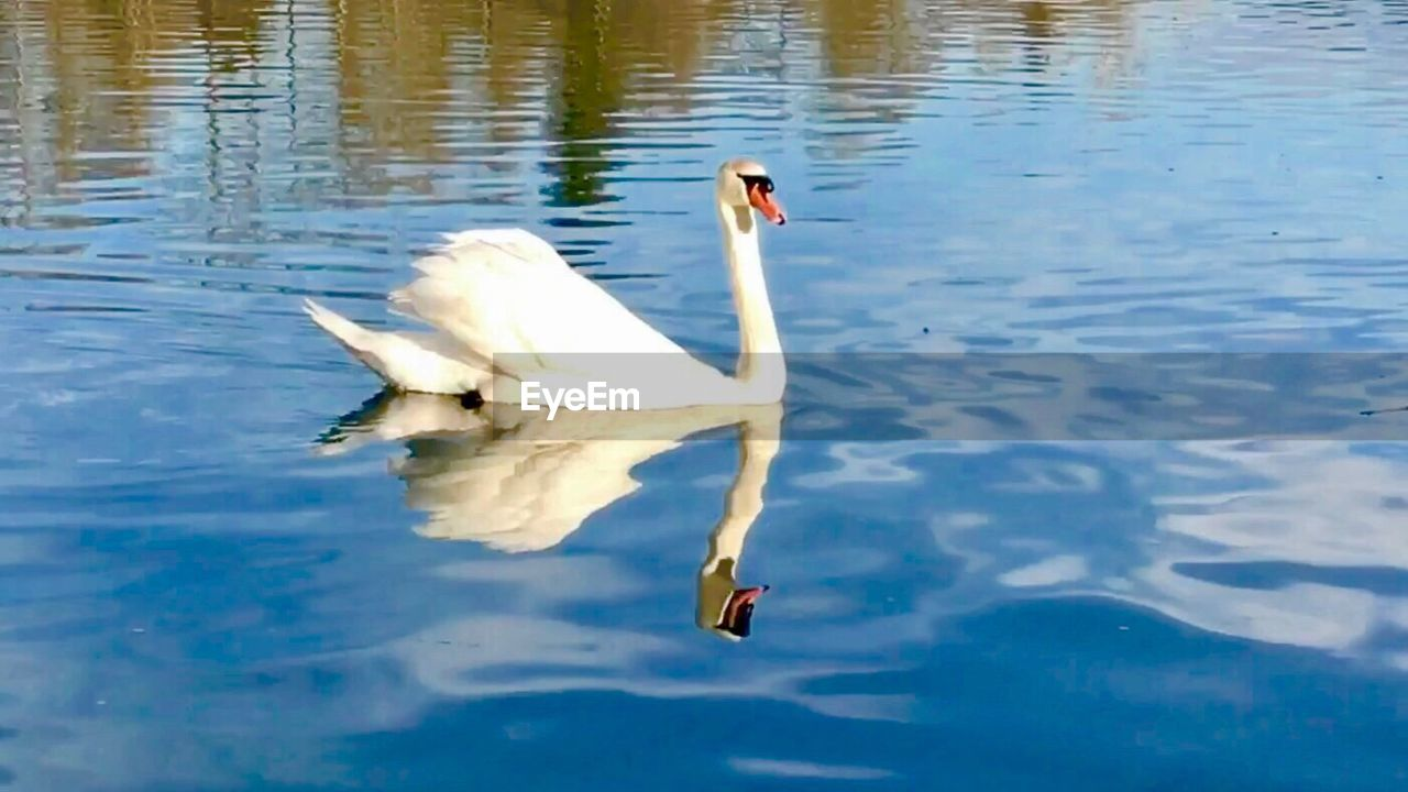 animal themes, animals in the wild, bird, swimming, lake, one animal, water, swan, reflection, nature, waterfront, water bird, day, white color, animal wildlife, no people, outdoors, beauty in nature