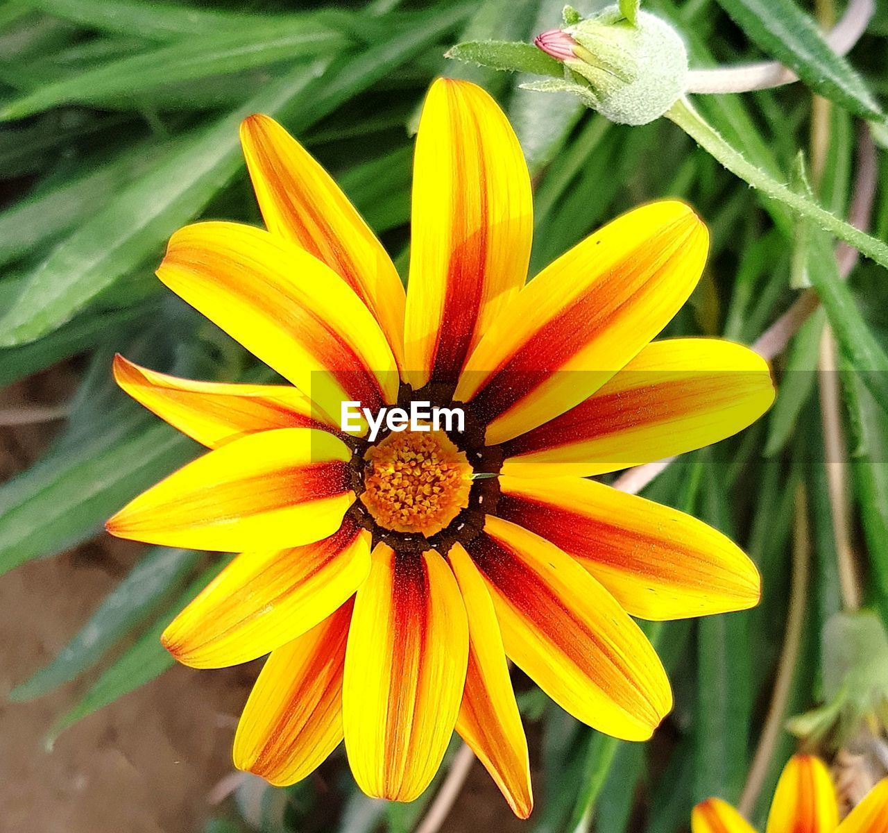 flowering plant, petal, flower, vulnerability, fragility, flower head, inflorescence, beauty in nature, yellow, plant, freshness, close-up, growth, pollen, focus on foreground, no people, day, nature, outdoors, gazania