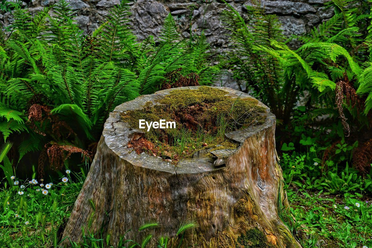 Moss Growing On Tree Stump In Forest