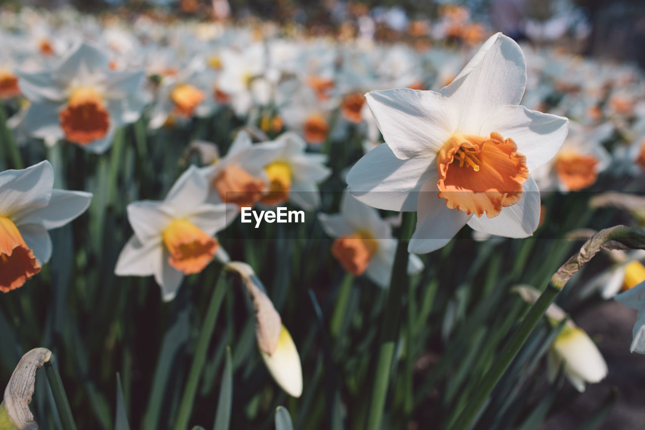 flowering plant, flower, plant, beauty in nature, freshness, fragility, growth, petal, vulnerability, flower head, close-up, inflorescence, focus on foreground, nature, white color, day, no people, outdoors, pollen, land