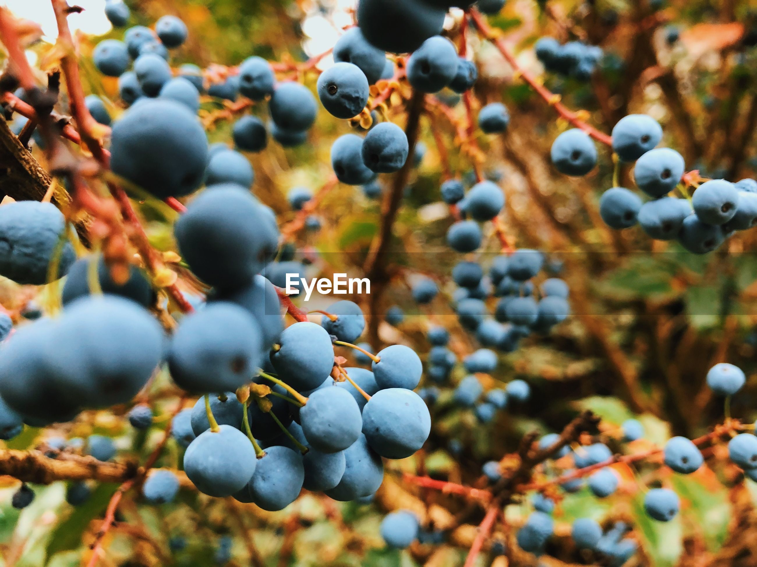 Close-up of berries growing on land