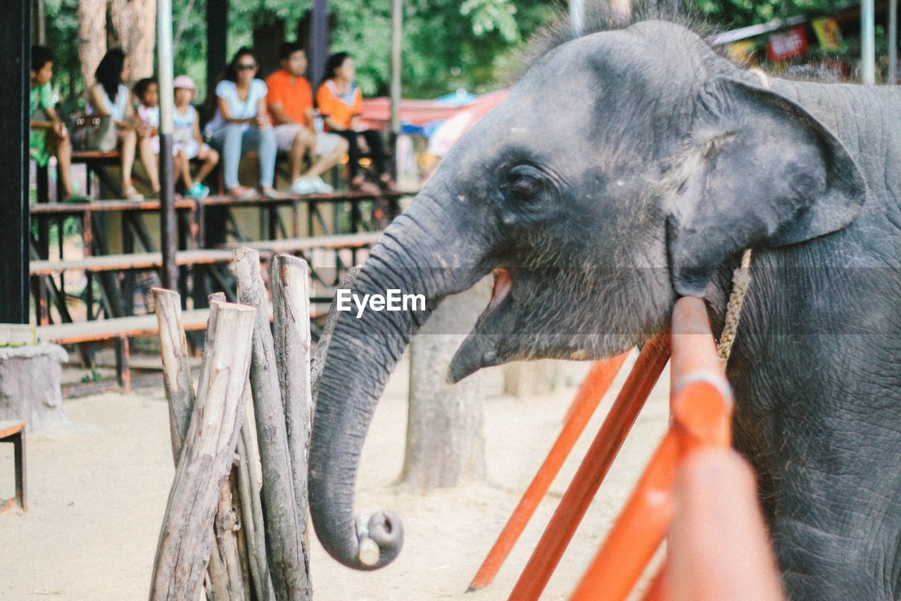 elephant, mammal, one animal, animal themes, day, outdoors, domestic animals, animal trunk, one person, close-up, people