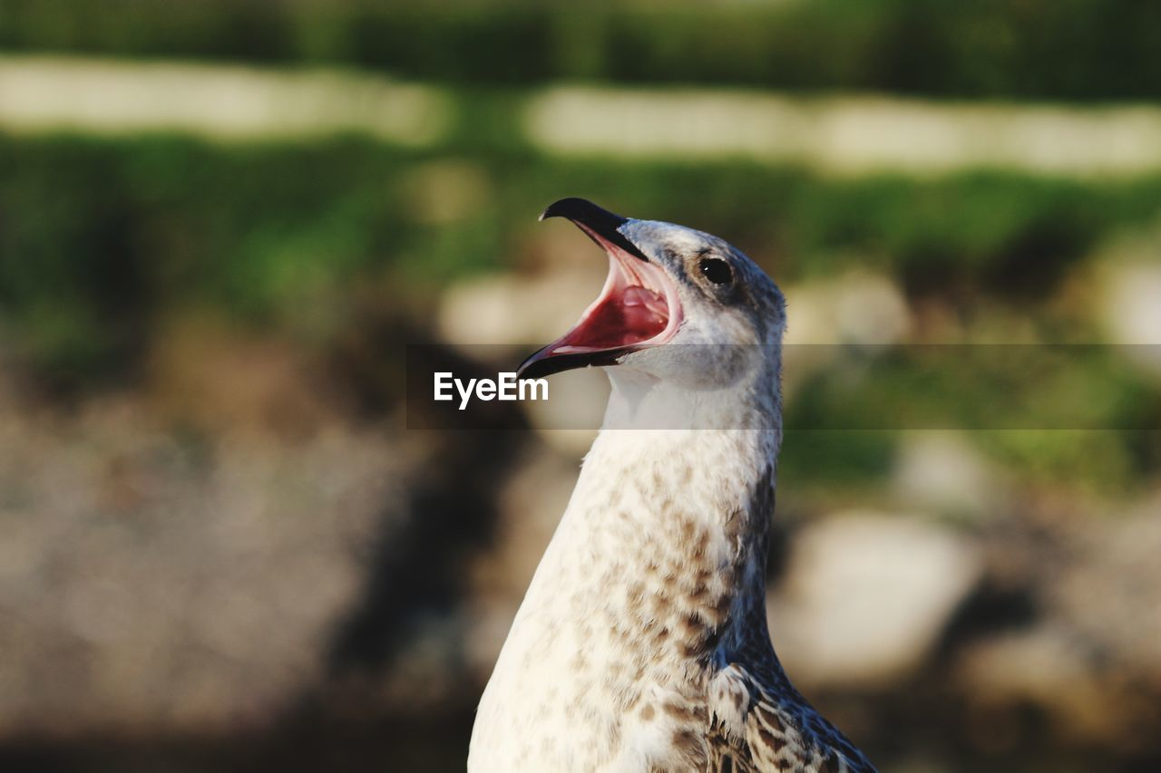 animal themes, one animal, animal, animals in the wild, animal wildlife, focus on foreground, vertebrate, bird, close-up, day, mouth open, nature, mouth, no people, animal body part, beak, looking, side view, outdoors, animal head, animal neck, profile view