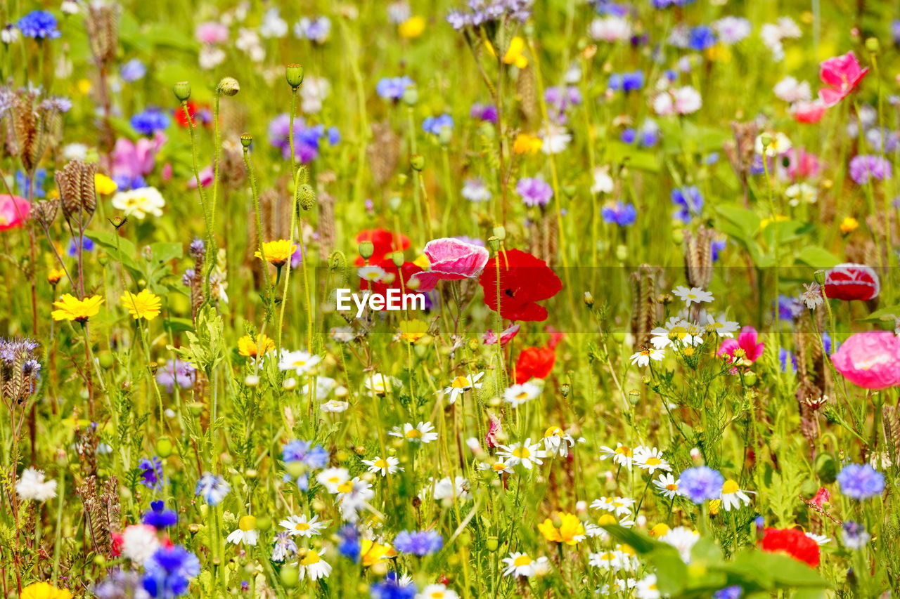flowering plant, flower, plant, beauty in nature, growth, freshness, fragility, vulnerability, nature, petal, flower head, field, green color, land, close-up, selective focus, inflorescence, multi colored, yellow, no people, poppy, springtime, outdoors, flowerbed, purple