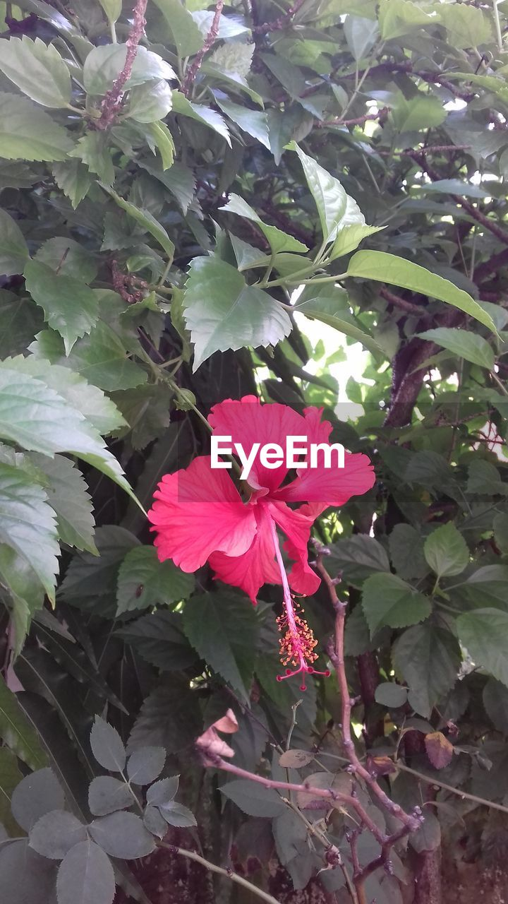flower, plant, flowering plant, beauty in nature, growth, freshness, fragility, vulnerability, petal, plant part, leaf, flower head, close-up, inflorescence, pink color, nature, day, green color, no people, outdoors