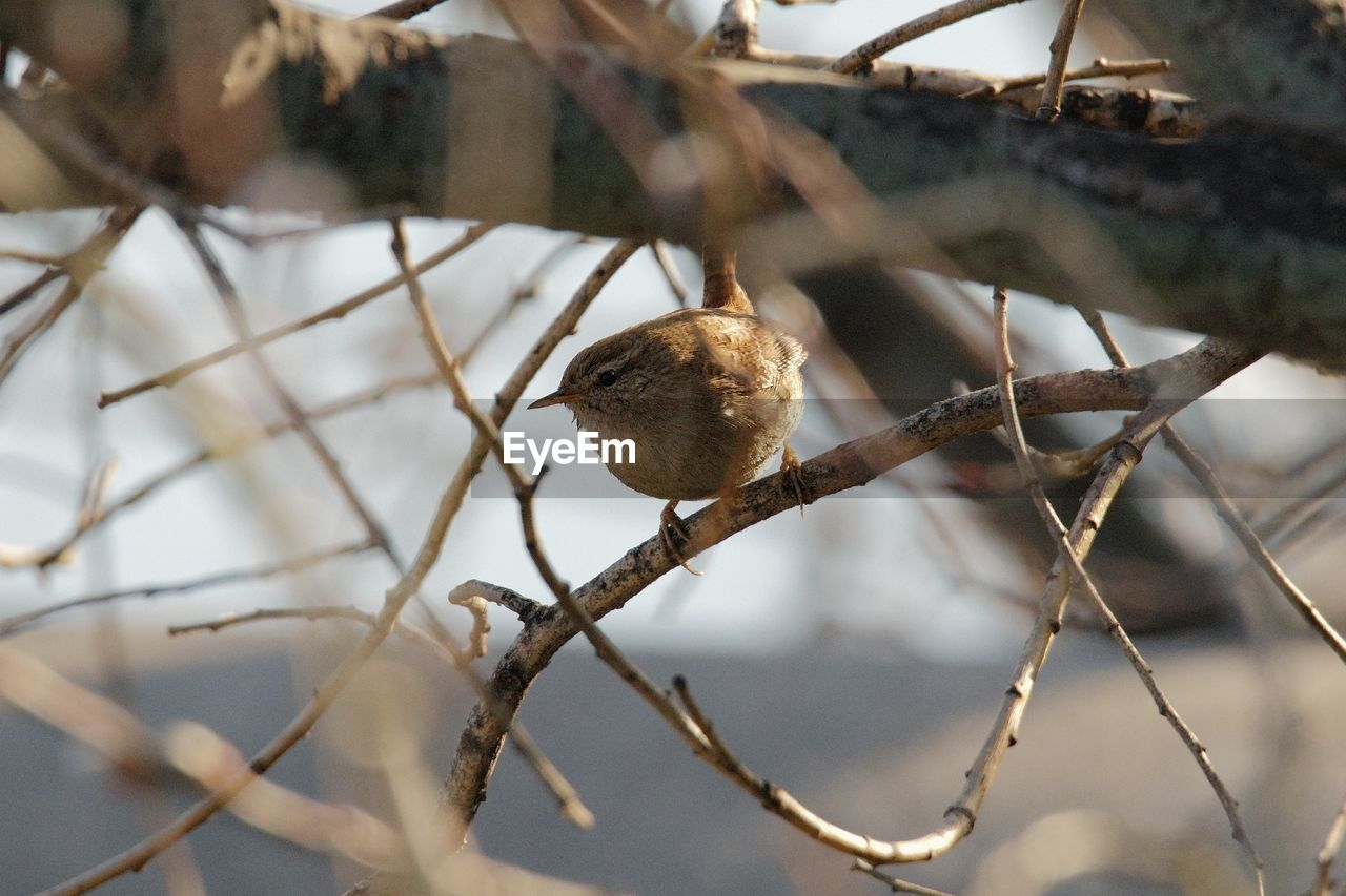 bird, animal themes, animal, vertebrate, animal wildlife, branch, animals in the wild, tree, one animal, perching, plant, focus on foreground, day, no people, nature, sparrow, selective focus, low angle view, outdoors, close-up