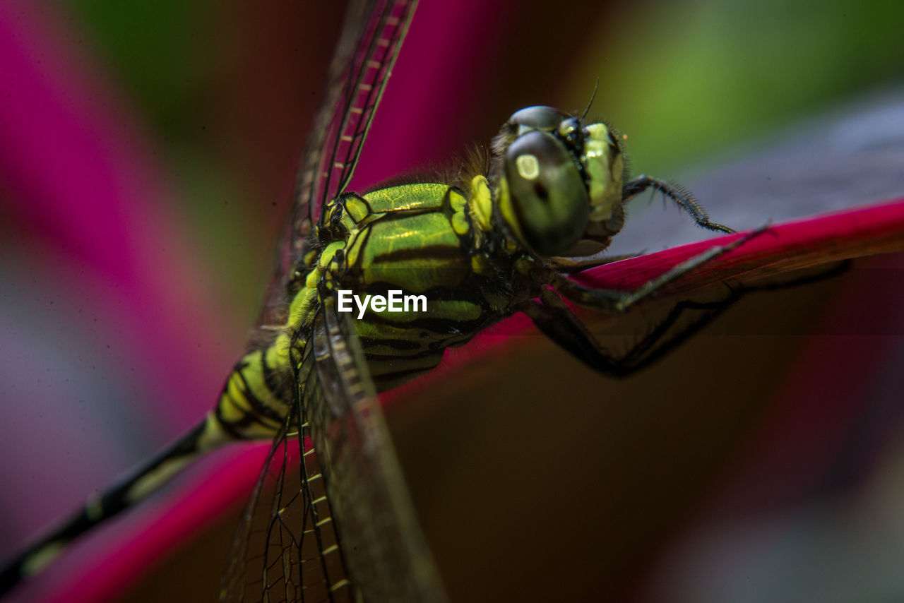 CLOSE UP OF DRAGONFLY