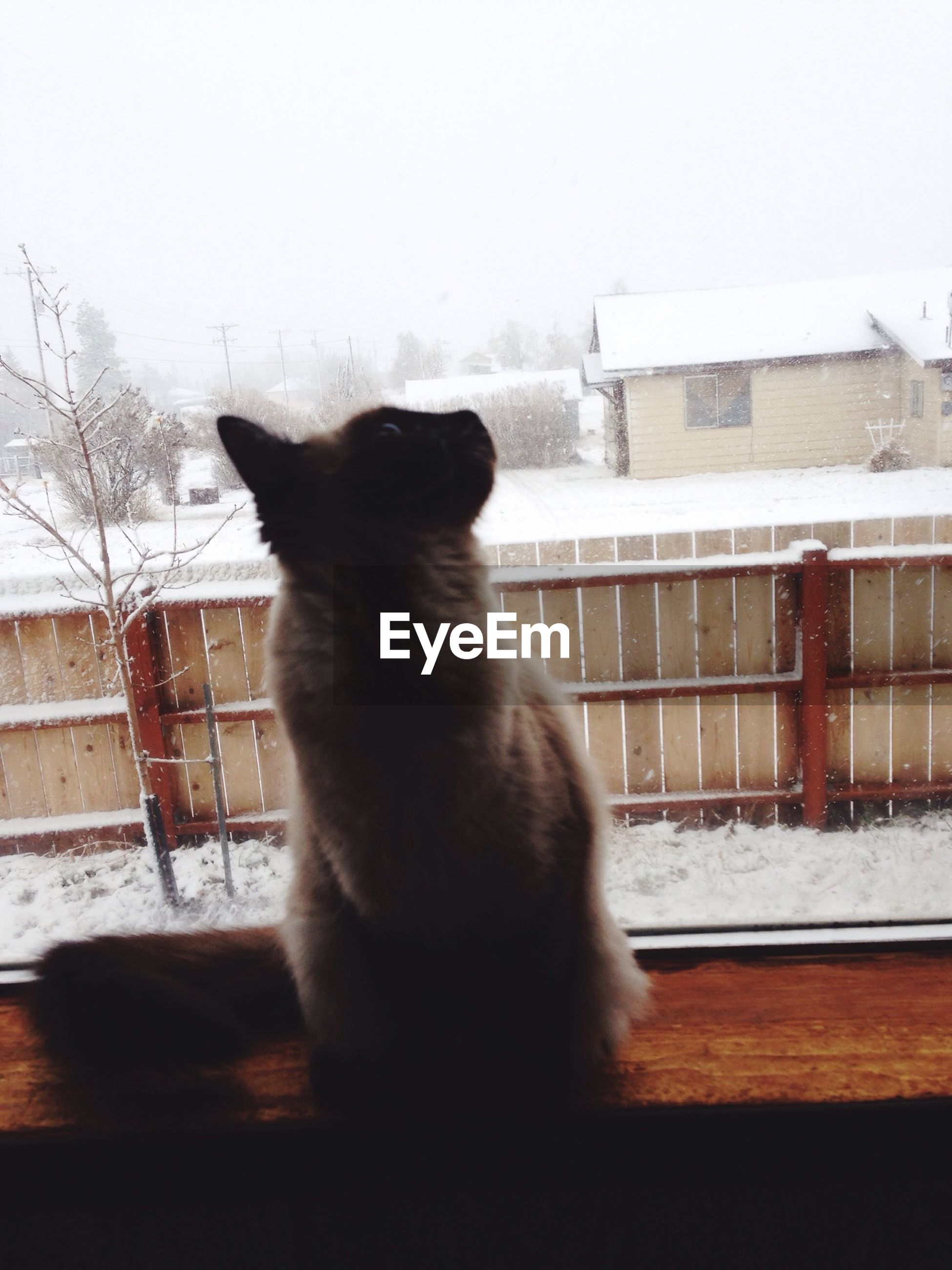 Siamese cat on window sill at home during winter